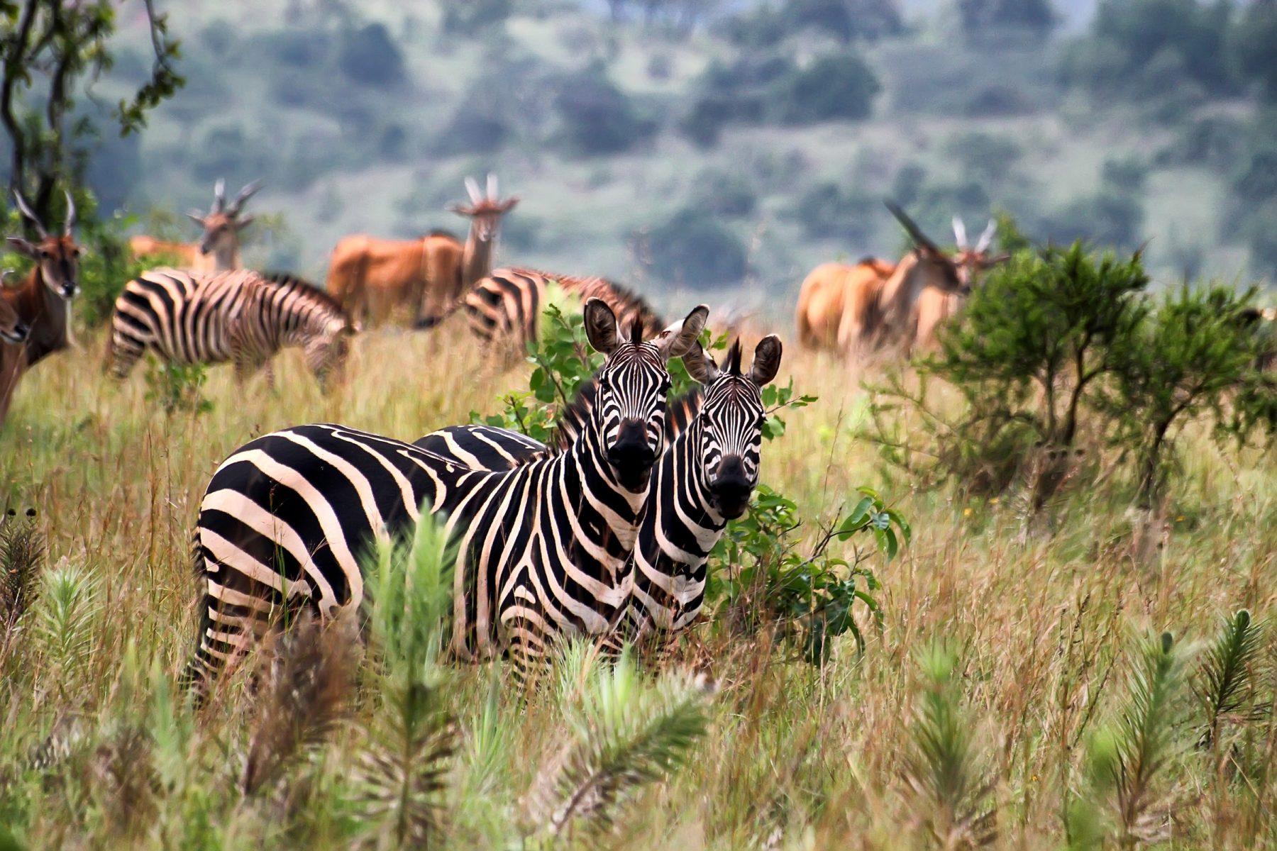 zebras in akagera national park in rwanda