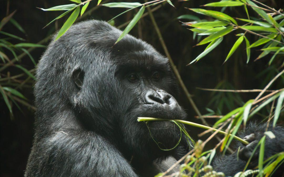 Gorilla trekking in Rwanda-fixed departure tours?