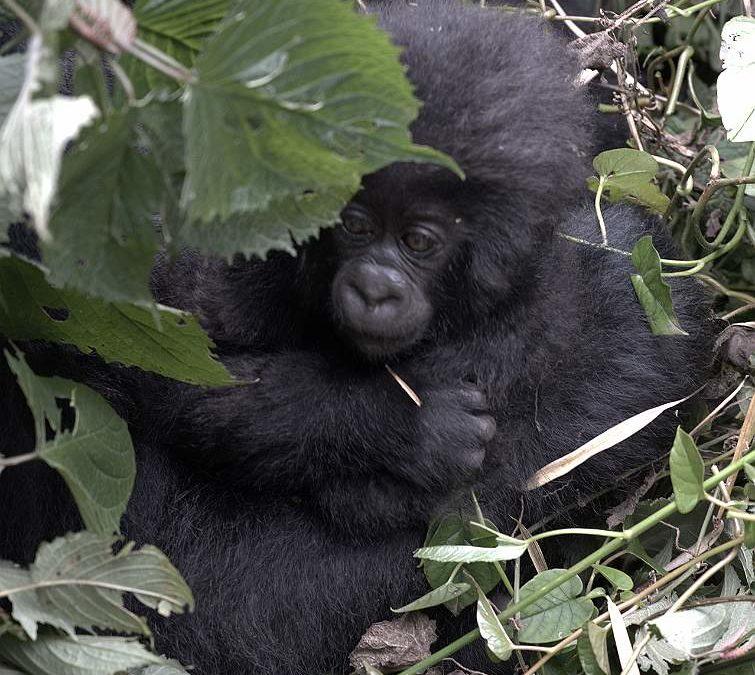 Rwanda Tours Explained To Senior Travelers: Tailor-made Gorilla Tours