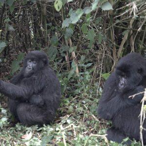 Gorilla couple in Africa