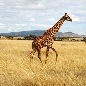 Masai Mara-Kenya wildlife tour safari
