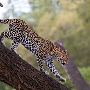 Samburu leopard-Augustine Tours Africa
