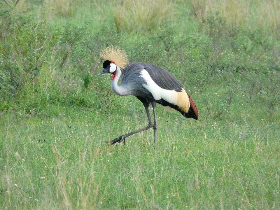 Crested-Uganda travel guide